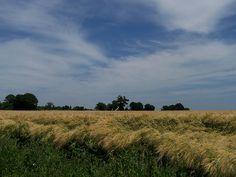 Champ de blé à Denazé, en sud Mayenne