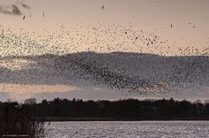 Murmuration of Starlings - Kevin Palmer