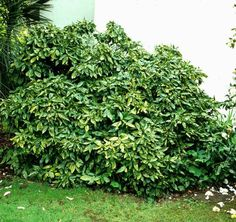 Aucuba japonica, variagata gold dust - larger view of the overall bush. nice shape and scale. Evergreen Shrubs, Japonica, Plants, How To Level Ground, Types Of Plants, Types Of Soil, Raised Planter, Planters, Indoor Plants