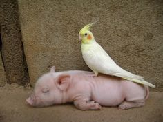 It's a Cockatiel on a piglet. If this doesn't warm your soul, there's something seriously wrong!