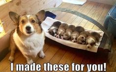 Corgi puppies!!! WhatEveryDogDeserves.com