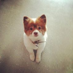 Get this super cute mini fox dog in my life right now.