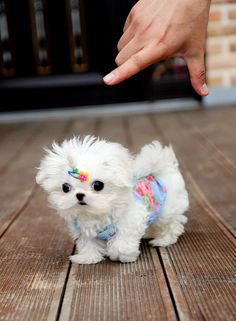 Teacup Maltese Puppies, I want one when I'm 75+. So freaking cute, minus the clothes.