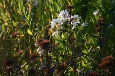 white sweet rocket and sweet william sooty - heavenly mix