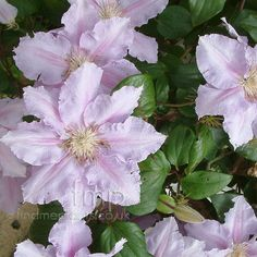 clematis flowers | to clematis plant information find out where you can buy clematis ...