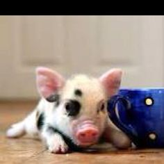 Teacup pig. I want one!