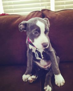 Her little hip still bugging her  #Olive #oliveandscoutsnuggles #oliveandscoutadventures #princess #pitbullmom #pitbullofig #pitbullpride #pitbulladvocate #pitbullsofinstagram #apbt #alberta #apbtmix #apbtlove #yeg #yegpitbull #dogsofcanada #dogsofinstagram } Photo : http://ift.tt/1pC5926