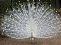 Bildergebnis für white peacock