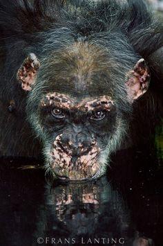 Frans Lanting - Chimpanzee old male drinking from waterhole, Pan troglodytes verus, Fongoli, Senegal