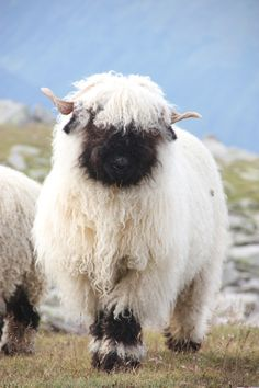 mountain sheep Switzerland. In Swiss Alps