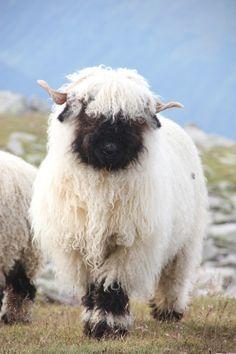 mountain sheep Switzerland.  In Swiss Alps