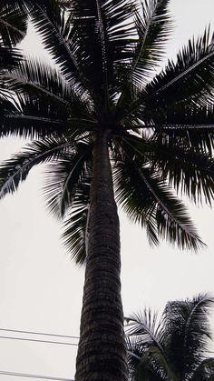 Coconut tree in southern India near the Arabian Sea. 6-13-17