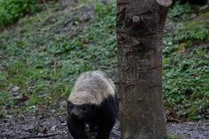 badger: Badger Stock Photo
