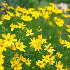 zagreb-threadleaf-coreopsis-perennial-1c32f122 Long Blooming Perennials, Best Perennials, Hardy Perennials, Flowers Perennials, Planting In Clay, Planting Bulbs, Planting Flowers, Moss Phlox, Perennial Geranium