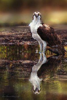 Osprey, Reflection by Lauri Donovick / 500px