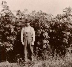 "In 1619, America's first marijuana law was enacted at Jamestown Colony, Virginia, ""ordering"" all farmers to ""make tryal of ""(grow) Indian hempseed. More mandatory (must-grow) hemp cultivation laws …"