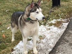 Meet Kodiak a Petfinder adoptable Siberian Husky Dog | Zanesville, OH | Meet Kodiak! He is a gorgeous boy with blue eyes. He is neutered, current on vaccinations, and...