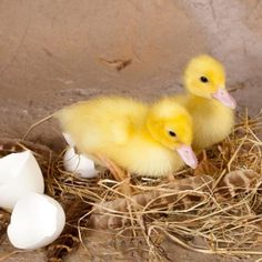 Hatching your own duck eggs can be a fascinating and educational experience.