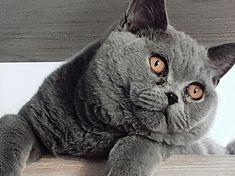 Adam British Shorthair, Cats, Animals, Gatos, Animales, Animaux, Animal, Cat, Animais