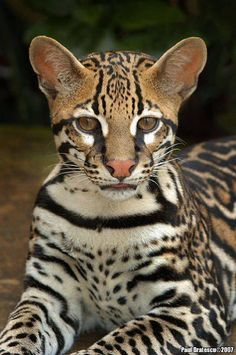 I ❤ big cats . . . Gorgeous ocelot !! ~Photo by Paul Bratescu