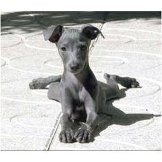 Italian greyhound. Give me one now.