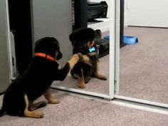 My New Puppy Seeing Himself In The Mirror! http://ift.tt/2hXGkKV