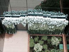 El jardín gemelo del anterior. Los cítricos del jardín horizontal son Citrus kumquat, el Fito es exquisito.