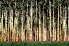 Foresty Eucalyptus Tree Eucalyptus Tree