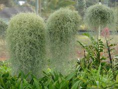 Тилландсия уснеевидная, обиходные названия — Испанский мох, или Луизианский мох, или Испанская борода (Tillandsia usneoides)