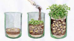 How to plant potatos in a pot  Kartoffeln richtig im Kübel pflanzen