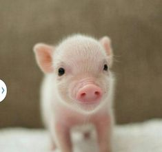PIGLET by Sweet Angel Wings Pigs Micro piglet miniature pig baby animals pets baby animal micro micropig pet family minipig small funny videos best piggie piggies Самые смешные фото и видео дикой природы Wildlife Photography Awards 2020 Cute Baby Pigs, Cute Piglets, Baby Animals Super Cute, Cute Little Animals, Cute Funny Animals, Baby Piglets, Baby Pigs For Sale, Tiny Baby Animals, Mini Piglets