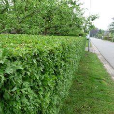 Meidoornhaag (Crataegus monogyna) haag