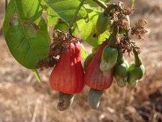 Cashews on trees at our farm house