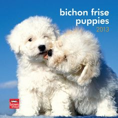 Bichon Frise Puppies Mini Wall Calendar: Bichon Frise puppies seem as if they were molded by children out of soft fluffy flakes to be a snowman's companion. BrownTrout unleashes these pups with little black eyes and cottony fur in this mini wall calendar.  $7.99  http://calendars.com/Bichon-Frises/Bichon-Frise-Puppies-2013-Mini-Wall-Calendar/prod201300004552/?categoryId=cat10054=cat10054# Bichons, Westies, Fluffy Dogs, Dog Mixes, Lap Dogs, Cutest Dogs, Chronic Pain, Fibromyalgia, Havanese