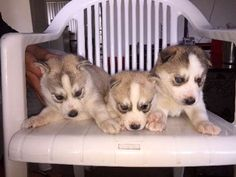 Husky Puppies For Sale, Siberian Husky Puppies, Husky Puppy, Dogs And Puppies, Siberian Huskies, Pet Care, Fur Babies, Dog Breeds, Cute Animals