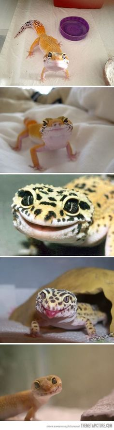 Ridiculously Photogenic Lizard…that moment when a lizard is prettier than you. -_- leapord geckos :)