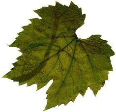 Chlorofylafdruk op druivenblad.