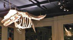 Killer whale skeleton rearticulation at Sitka Sound Science Center. Alaska, Halibut Fishing, Sound Science, Asia Continent, Killer Whales, Antarctica, Skeleton, Bones, Skeletons
