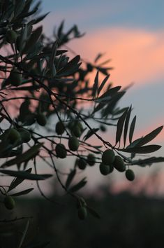 Sunset at a Nudo olive grove.  You can adopt an olive tree at Nudo Italia and reap the rewards in your own kitchen -- makes a nice gift, too!  http://nudo-italia.com
