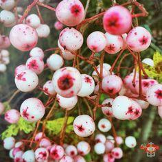 #feelslikexmas2016 #winterberries #pink #FMSPAD #fms_ienjoy #thistimeofyear Photos from my travels