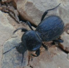 Escarabajo. Insecto. Artrópodo. Invertebrado. Al calor de junio. 2