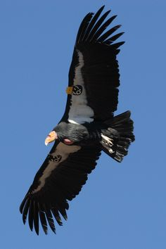 The California Condor is the largest North American land bird and inhabits northern Arizona and southern Utah, coastal mountains of central and southern California, and northern Baja California. The condor is a scavenger and eats large amounts of carrion. It is one of the world's longest-living birds, with a lifespan of up to 60 years.