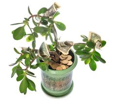 """Buy the royalty-free Stock image """"Potted home plant Crassula with dollar bills in flower"""" online ✓ All image rights included ✓ High resolution picture f. Jade, Good Energy, Wisteria, Feng Shui, House Plants, Christmas Diy, Stock Photos, Dollar Bills, Reiki"""