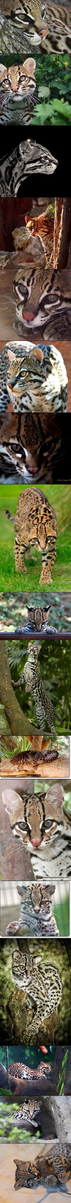Save the Ocelot before it is to late!