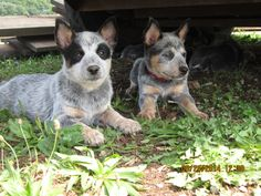 Blue heeler -- When our current dogs are old enough to not chew on a cow dog pup I'll be getting one of these Aussie Cattle Dog, Austrailian Cattle Dog, Cattle Dogs, Baby Puppies, Dogs And Puppies, Baby Animals, Cute Animals, Blue Heelers, Dog Rules