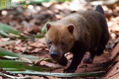O CACHORRO-VINAGRE (Speothos venaticus) vive no Brasil e é um dos membros menos conhecidos da família dos canídeos. Como salvá-lo da extinção? http://abr.ai/1wV972H