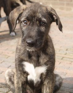 Irish Wolfhound, I want this puppy!