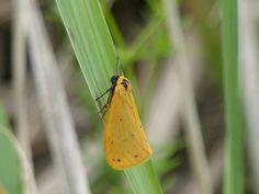 Dew moth, Piusa.