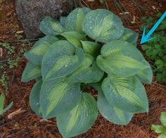 s see how 9 clever gardeners make their hostas thrive, gardening