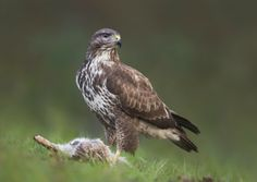 How the buzzards of Berkshire and Buckinghamshire battled back